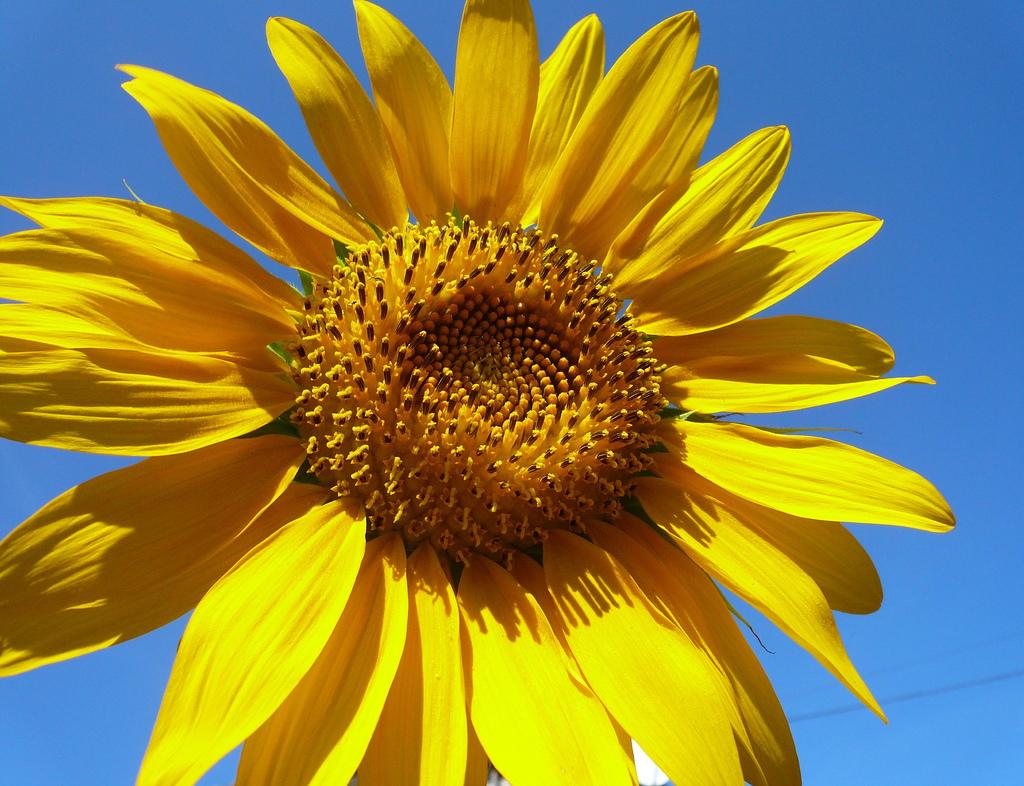 summer sunflowers andrea -#main