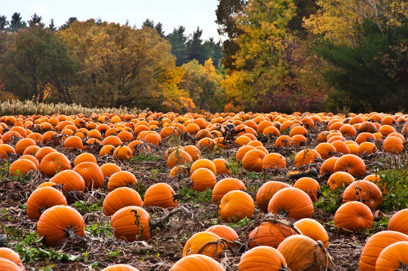 pumpkin-patch-desktop-wallpaper-5653-5939-hd-wallpapers.jpg